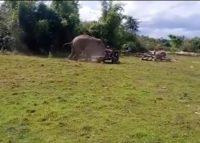 Elefante ataca trator para proteger namorada (VÍDEO)